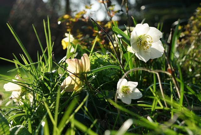 Anemone Blanda, Christmas Rose, Winterblueher, Blossom