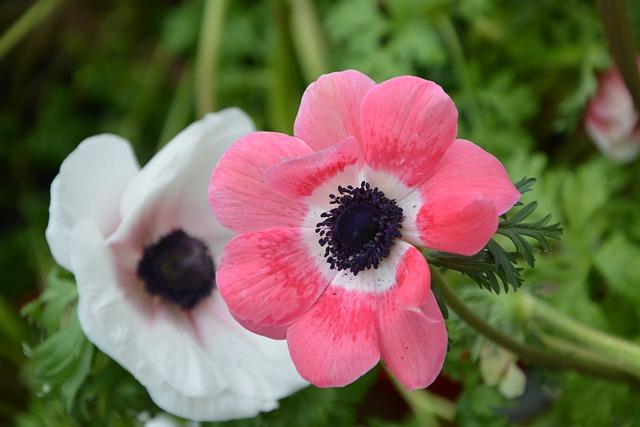 Flower, Plant, Anemone Christina