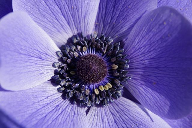 Crown Anemone, Anemone, Macro, Close, Flower, Blossom