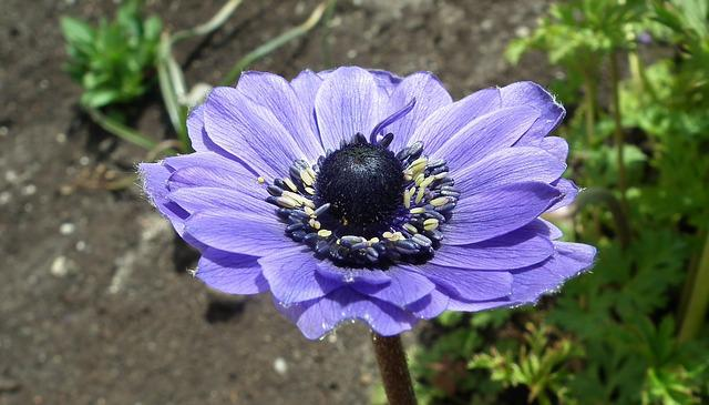 Nature, Flower, Anemone, Blue, Plant, Garden, Summer