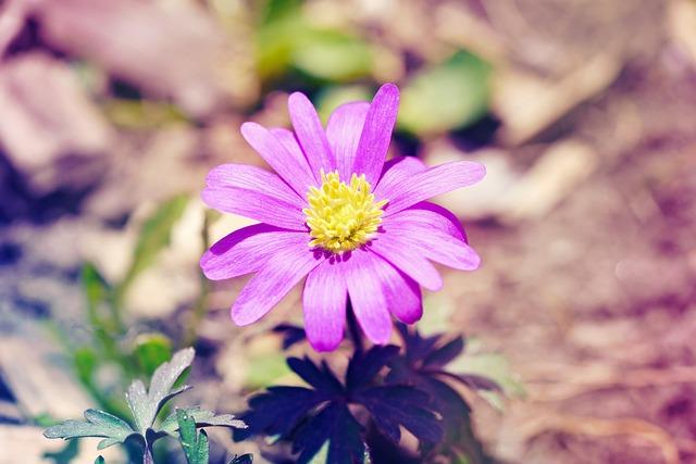 Balkan Anemone, Anemone, Flower Plant, Spring Flower