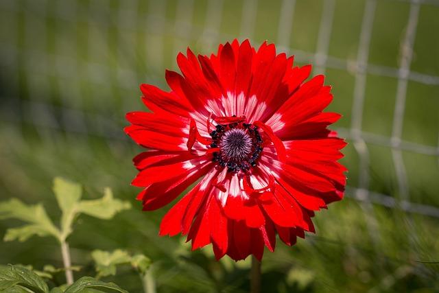 Anemone, Hahnenfußgewächs, Flower, Blossom, Bloom