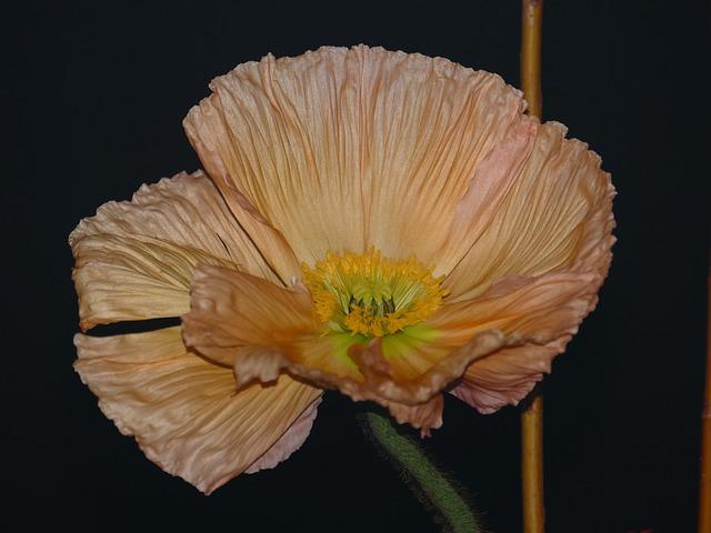 Anemone, Blossom, Bloom, Stamen, Crown Anemone, Pink