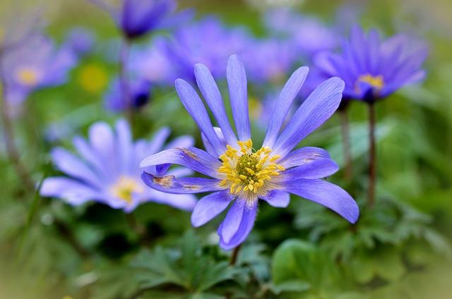 Rays Anemones, Anemones, Blossom, Bloom, Close, Blue