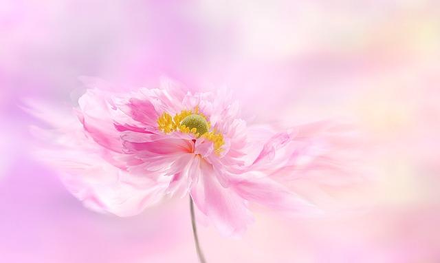Anemone, Anemones, Flower, Blossom, Bloom, Pink, Garden