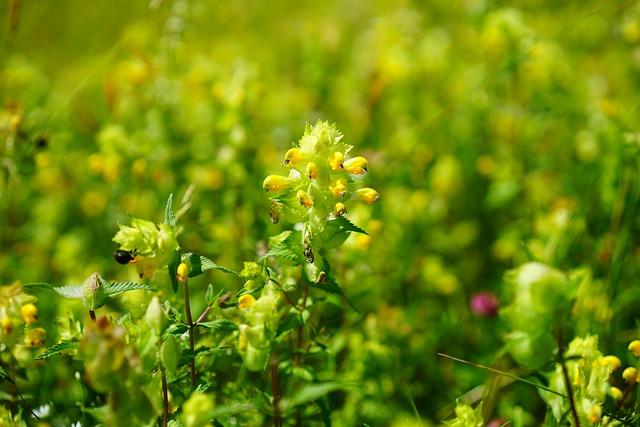 Androsace Rattling Pot, Angustifolius, Blossom, Bloom