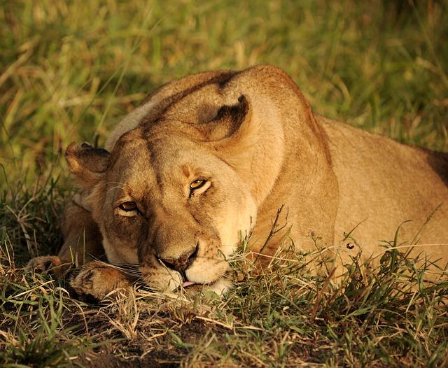 Cat, Lion, Lioness, Nature, Africa, Animal, Predator