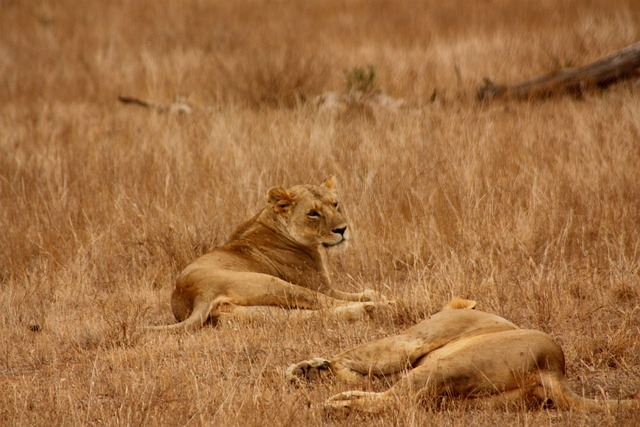 Lion, Animal, Family, Wild, Mammal, Safari, Africa