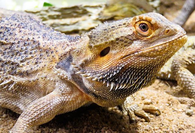 Animal, Lizard, Agame, Reptile, Dragon, Scale