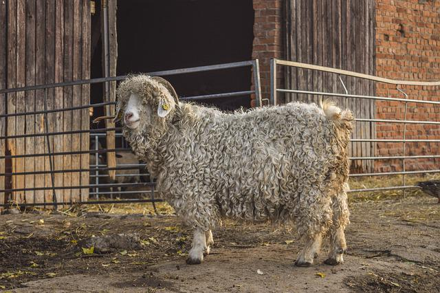 Animal, Domestic Sheep, Animals, Agriculture, Sheep