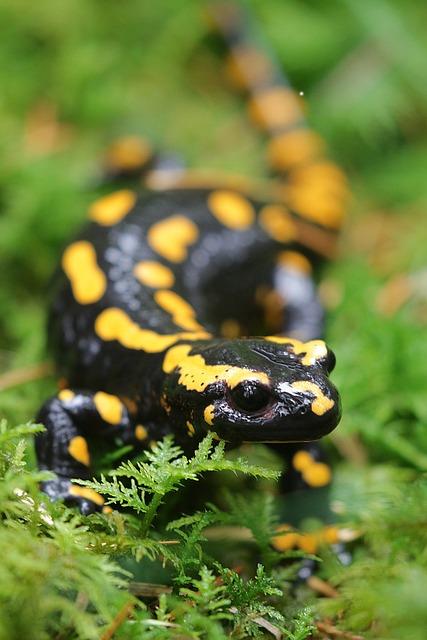 Fire Salamander, Salamander, Nature, Animal, Amphibian