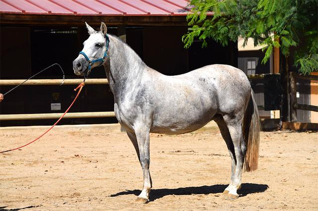 Andalusian, Andalusian Horse, Horse, Mare, Animal