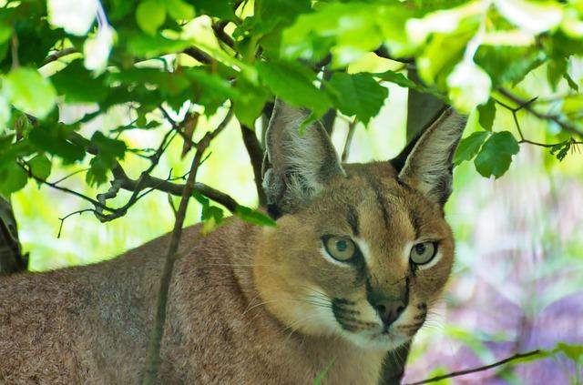 Karakal, Animal, Cat, Animal World