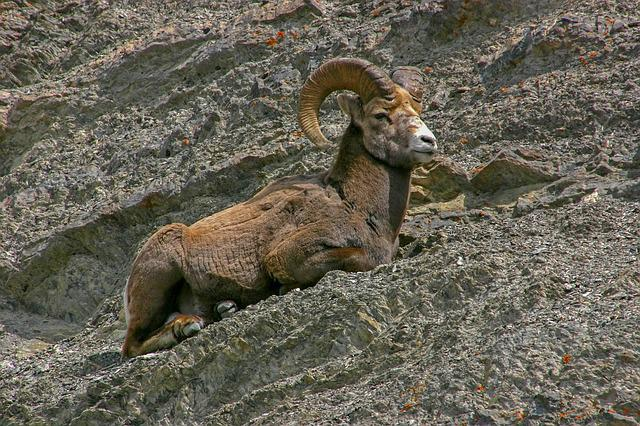 Nature, Animal, Mammal, Animal World, Rock, Sheep