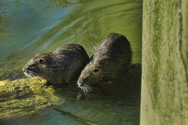 Nature, Animal World, Nutria, Waters, Animal