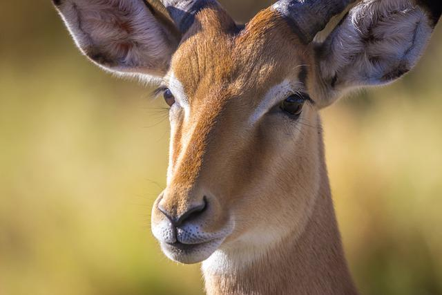 Safari, Antelope, Botswana, Nature, Animal, Africa