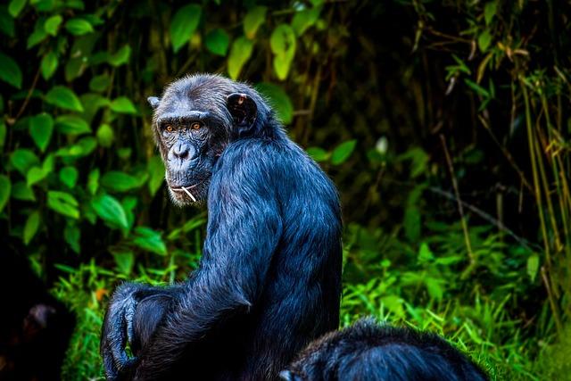 Chimpanzee, Monkey, Ape, View, Animal
