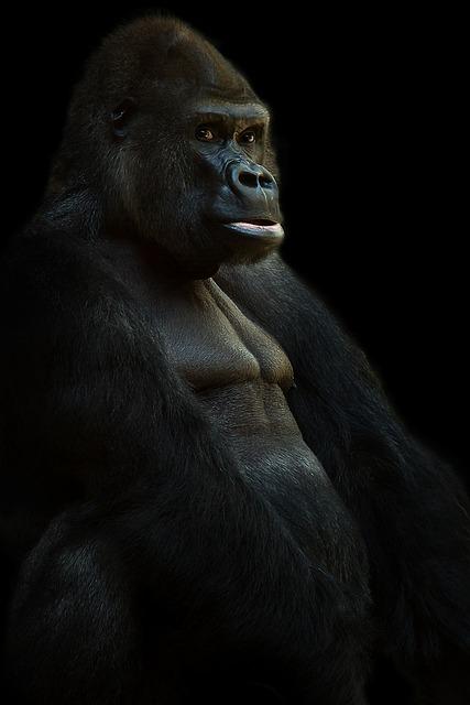 Gorilla, Silverback, Ape, Animal, Monkey, Black