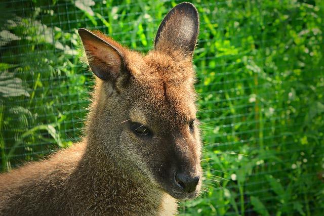 Wallaby, Marsupial, Animal, Mammal, Australia, Wildlife