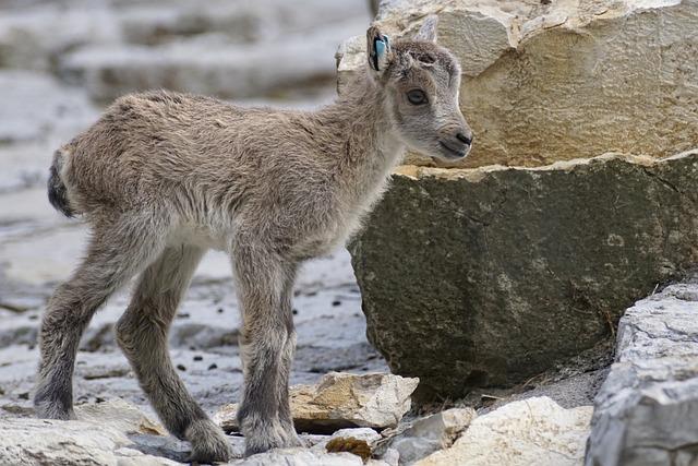 Capricorn, Kitz, Young, Steenbok, Baby, Animal, Fur
