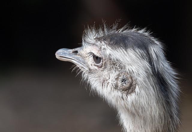 Portrait Of A Greater Rhea, Ostrich, Bird, Animal, Beak