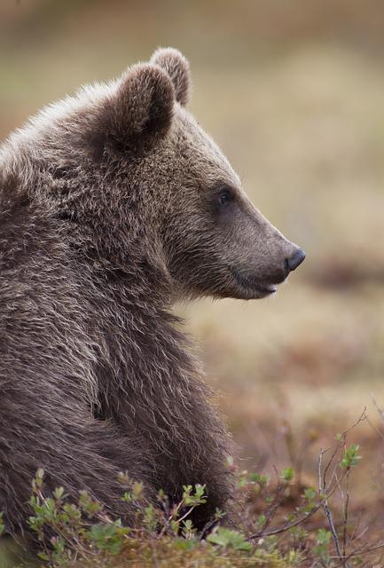 Bear, Puppy, Small, Brown Bear, The Beast, Animal