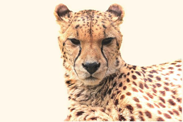 Cheetah, Animal, Nature, Cat, Predator, Big Cat