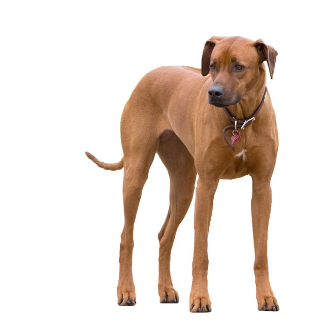 Dog, Ridgeback, Rhodesian Ridgeback, Animal, Big, Pet