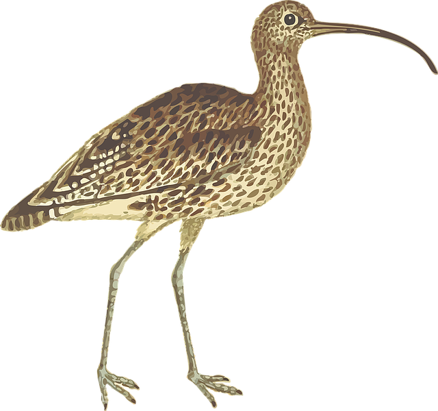 Animal, Bird, Curlew