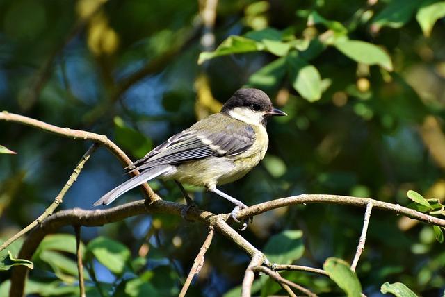 Tit, Songbird, Small Bird, Cute, Animal, Bird