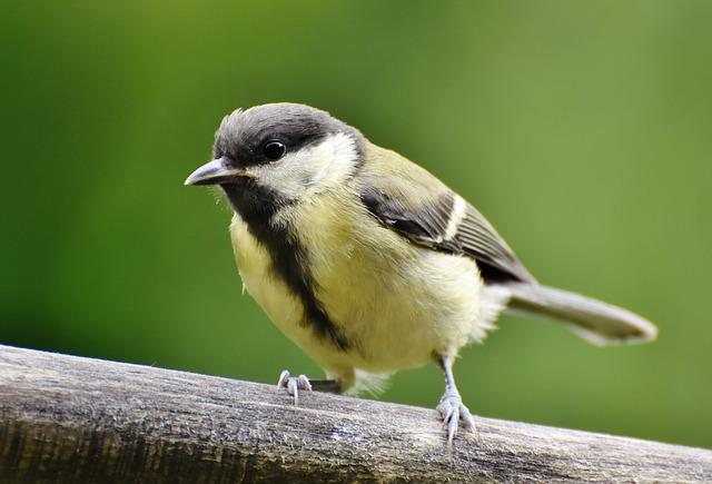 Tit, Songbird, Small Bird, Cute, Animal, Bird