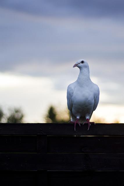 Dove, Bird, Dove On Fence, Animal