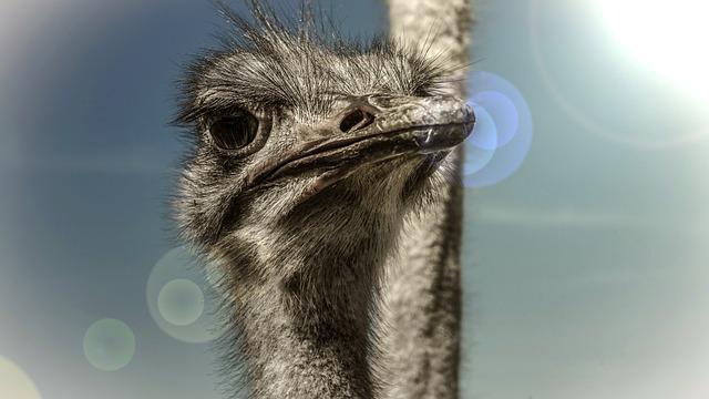 Strauss, Bird, Head, Animal, Flightless Bird