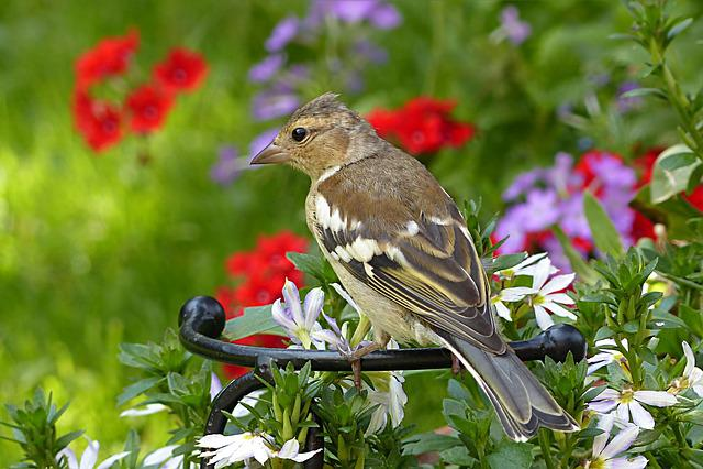 Animal, Bird, Buchfink Young, Fringilla Coelebs