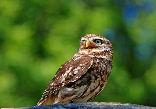 Owl, Little Owl, Bird, Animal, Wildlife, Beautiful