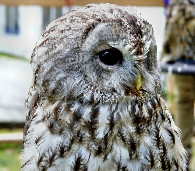 Long Eared Owl, Bird, Rarely, Animal, Plumage