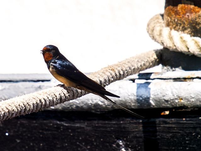 Schwalbe, Barn Swallow, Bird, Songbird, Nature, Animal