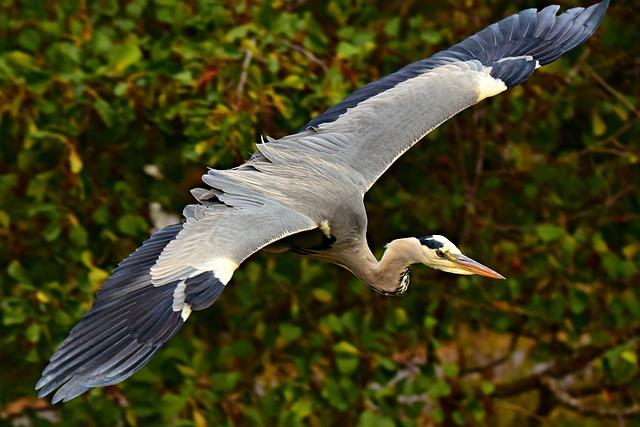 Heron, Wading Bird, Animal, Predator, Bird Of Prey