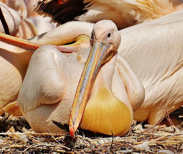 Pelikan, Bird, Bill, Birds, Animal, Plumage