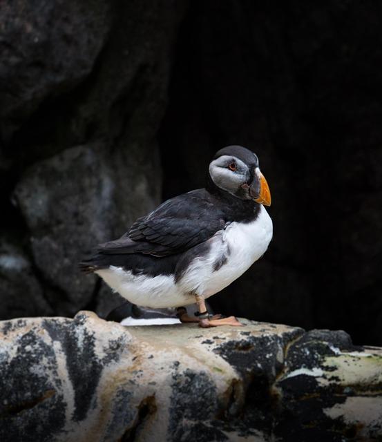 Alk Bielobradá, Bird, Sea Bird, Animal, Nature