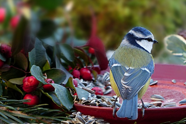 Animal, Bird, Tit, Blue Tit, Cyanistes Caeruleus