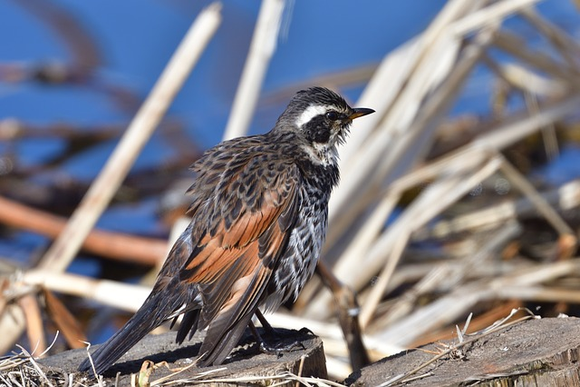 Bird, Natural, Wild Animals, Animal, Feathers, Thrush