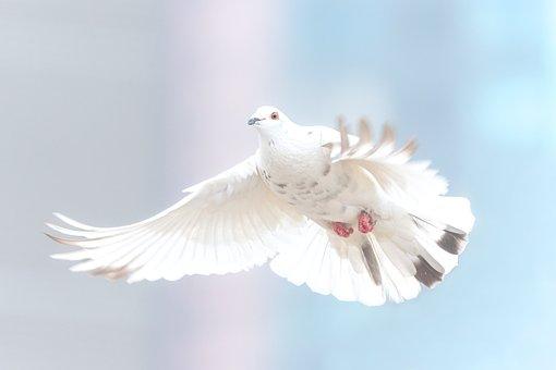 Dove, Wild, Bird, Nature, Animal, Wing, Wildlife