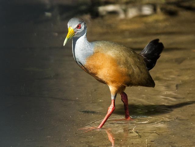 General Of Cayenne, Birds, Rallidae, Animal