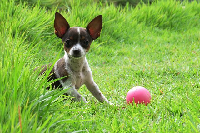 Pooch, Dog, Ball, Green, Ears, Animal, Bitch