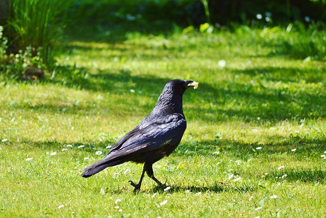 Raven, Crow, Raven Bird, Bird, Black, Animal