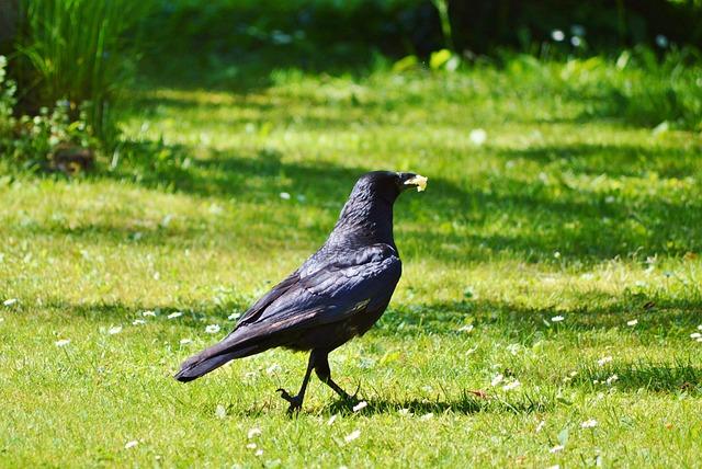 Raven, Crow, Raven Bird, Bird, Black, Animal