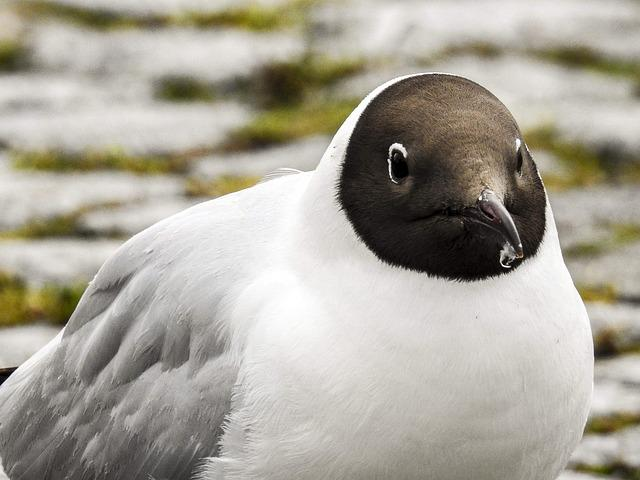 Black Headed Gull, Seagull, Bird, Nature, Animal