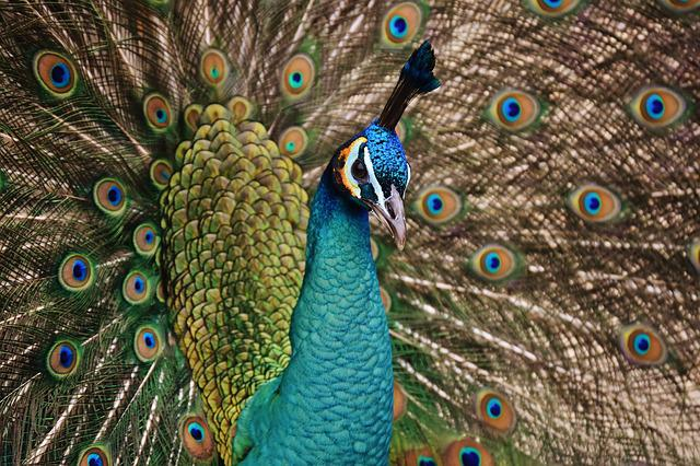 Peacock, Bird, Colorful, Animal, Feather, Blue, Poultry