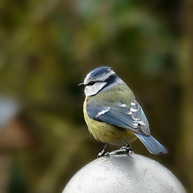 Nature, Animal, Bird, Tit, Blue Tit